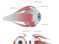eye-muscle-anatomy
