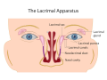 lacrimal-duct-and-glands